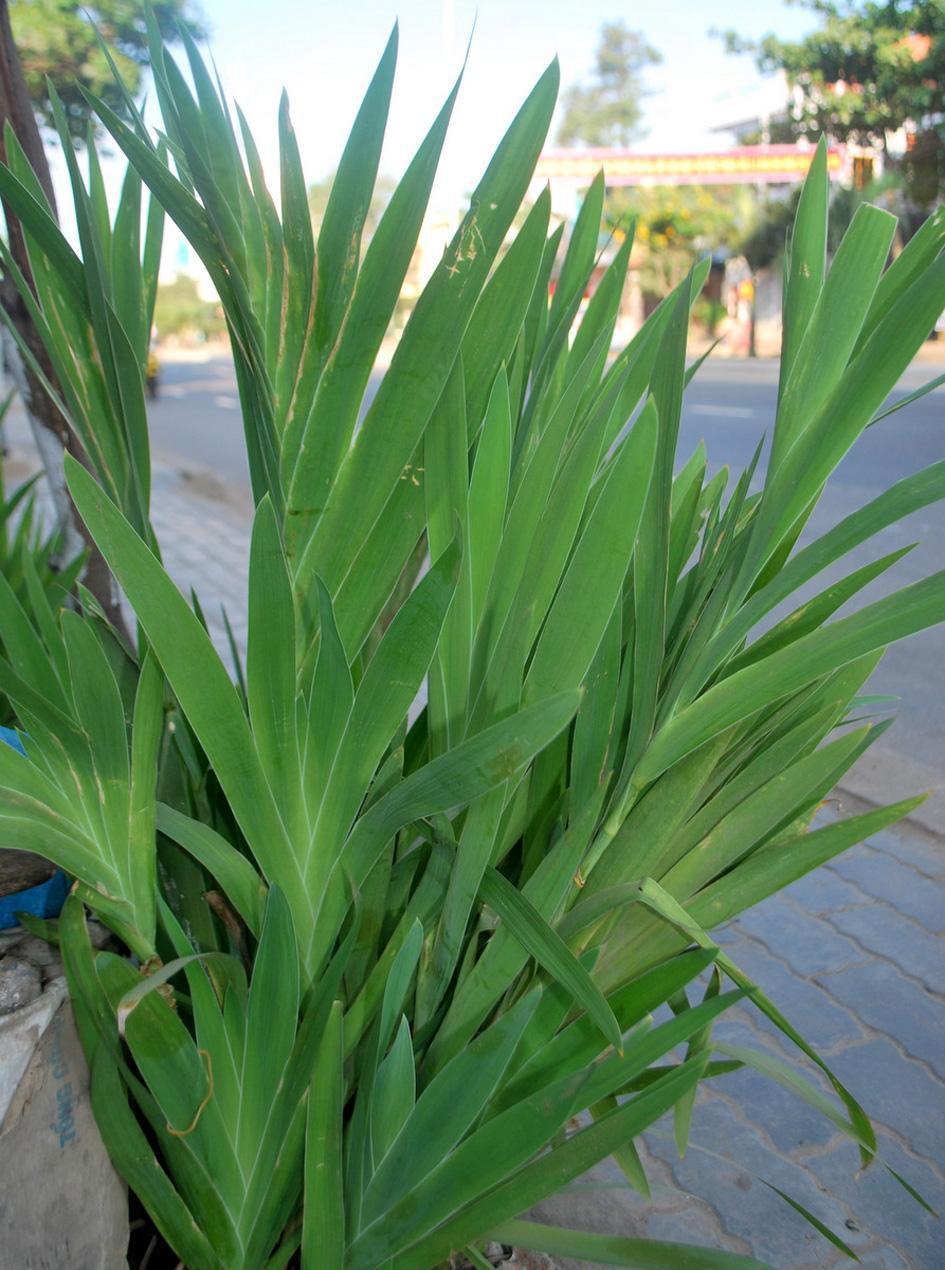 Rẻ quạt là thảo dược Đông y có tên gọi khác là xạ can