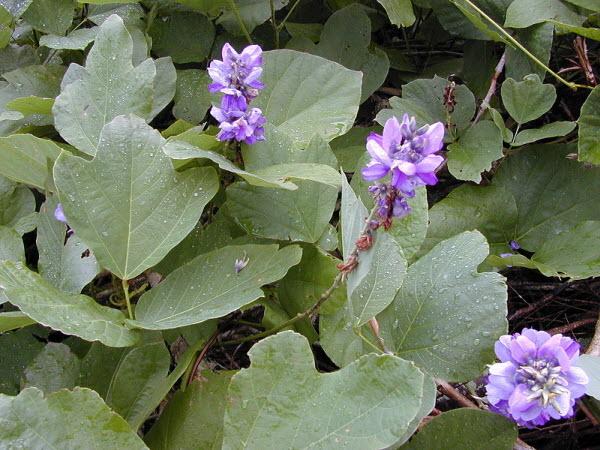 Hoa cây sắn dây rừng