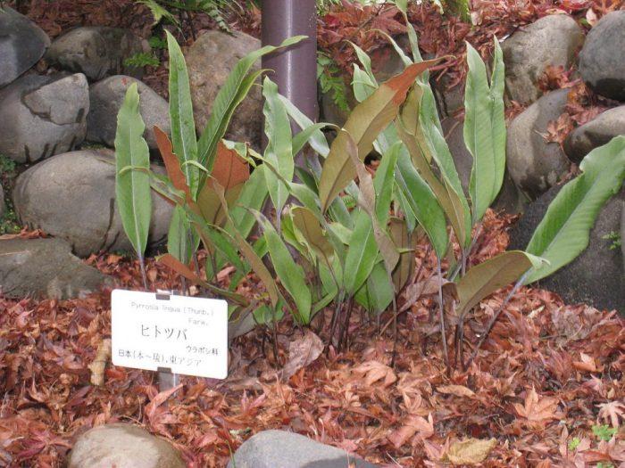 Thạch vĩ mọc trong vườn trồng