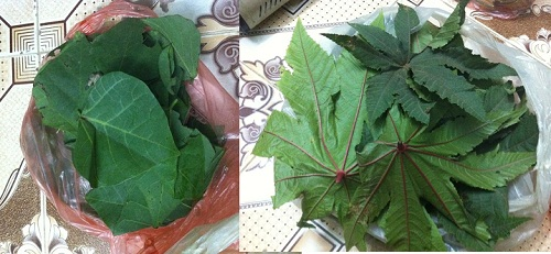 Lá thầu dầu tía kết hợp với lá vông làm bài thuốc trị bệnh trĩ