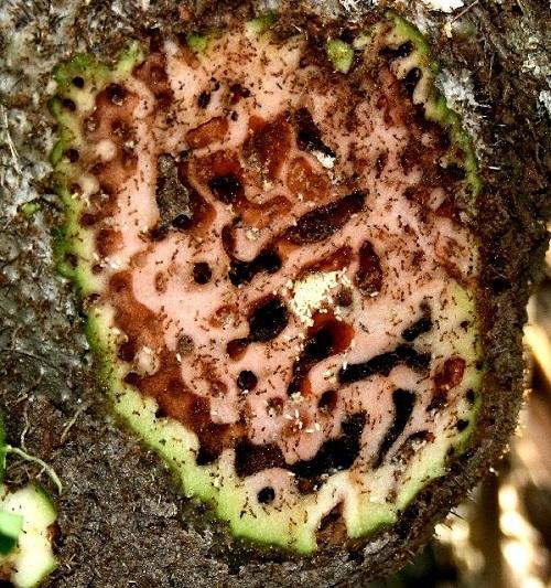 Cây tổ kiến có nhiều lỗ chỗ ở của kiến