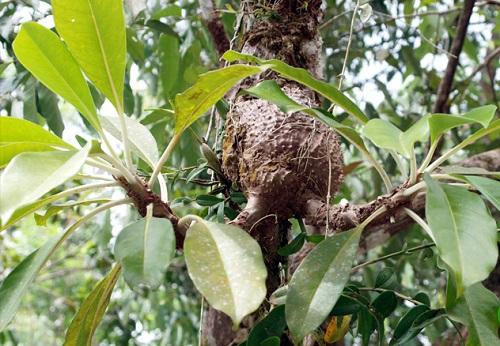 Cây tổ kiến là gì cùng hình ảnh và tác dụng của cây tổ kiến ra sao