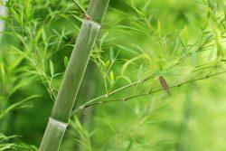 Tre không chỉ là cây cảnh mà còn là thảo dược quý