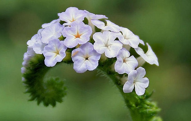 Hình ảnh hoa của cây cẩu vĩ trùng