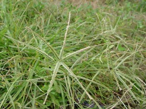 Cỏ mần trầu – cây thuốc quý trong y học cổ truyền
