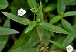 Cây cỏ mực có tác dụng gì và cách sử dụng cây cỏ mực sao cho hiệu quả