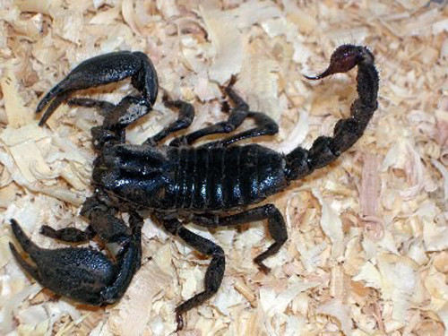 Cách sử dụng bọ cạp chữa bệnh như thế nào?