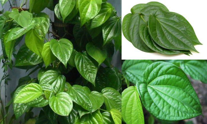 Công dụng chữa bệnh của lá trầu không và cách dùng lá trầu không