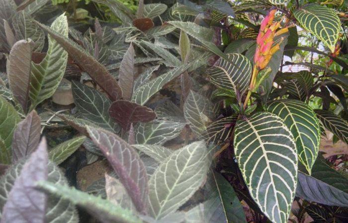 Công dụng của lá khôi nhung và cách dùng lá khôi tía hiệu quả