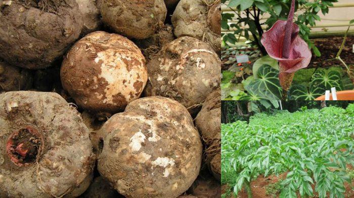 Củ khoai nưa có công dụng gì với sức khỏe và giá củ khoai nưa