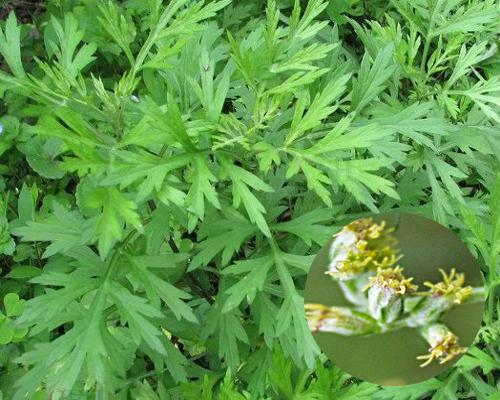 Đặc điểm nhận biết cây ngải cứu giúp phân biệt với cây cải cúc