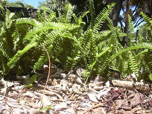 Đây là loại cây mọc nhiều ở các rừng rậm