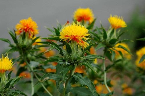 Hồng hoa - Đây là loại thảo mộc quý