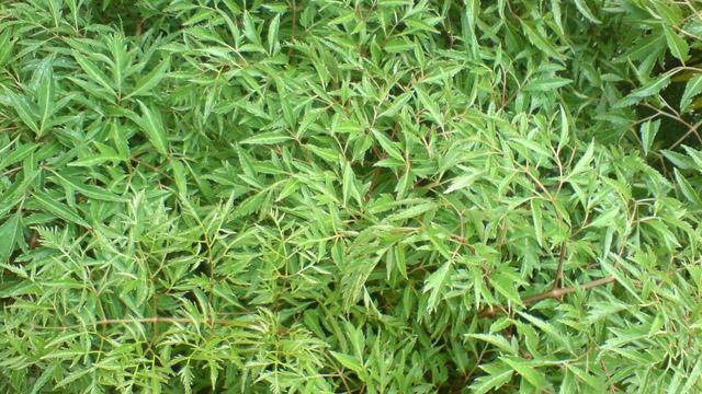 Đinh lăng có tên gọi khác là nam dương sâm, cây gỏi cá