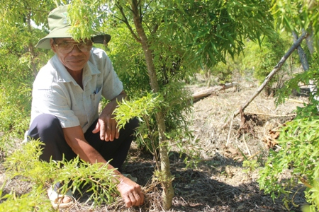 Đinh lăng lá to được trồng rộng rãi ở nông thôn