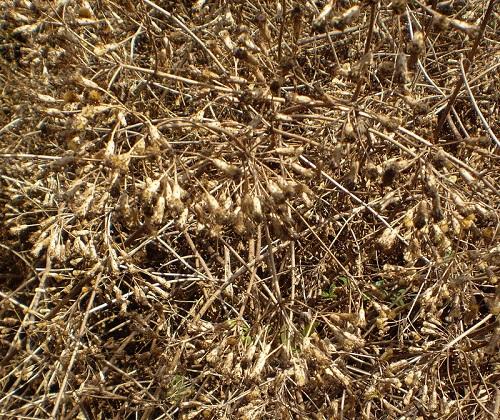 Giá cây cỏ lào hiện nay