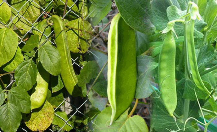 Hình ảnh đậu rựa và tác dụng cách dùng đậu rựa chữa bệnh hiệu quả