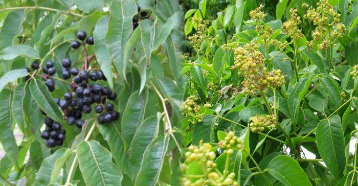Hình ảnh lá cây hoàng bá và sử dụng lá cây hoàng bá đúng cách