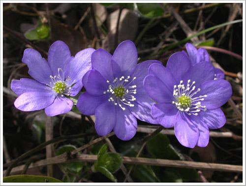 Hoa của loại cây lá gan