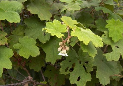 Cây mân xoi có lá hoa màu trắng