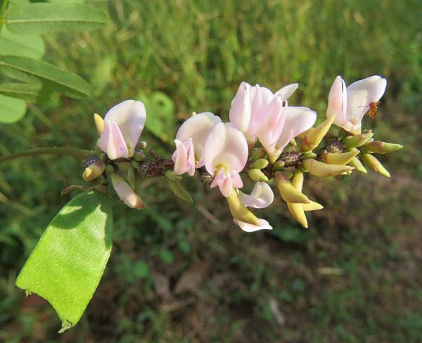 Hoa của cây kê cốt thảo