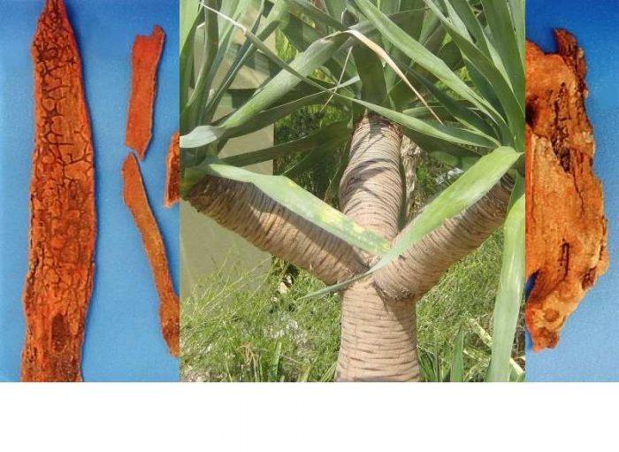 Huyết giác là cây gỗ sau khi chết mục có màu đỏ