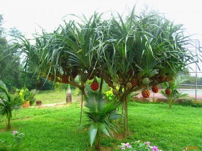 Cây giáng ông rất dễ nhầm với cây dứa dại khi cây dứa dại chưa ra quả.