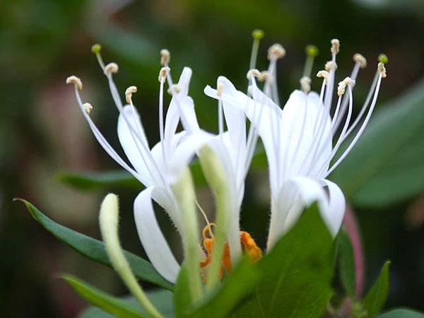 Hình ảnh nhụy hoa của cây ngân hoa