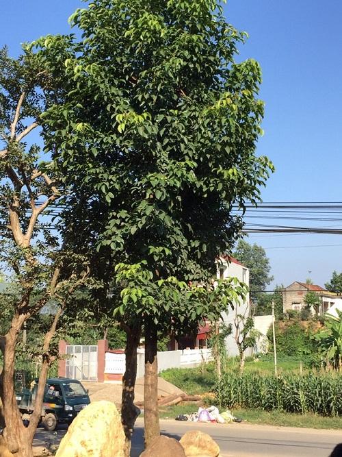 Lá cây nhội trị tiêu chảy hiệu quả