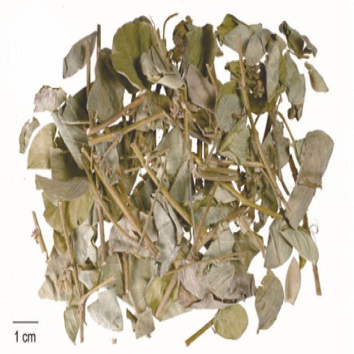 Lá khô kim tiền thảo