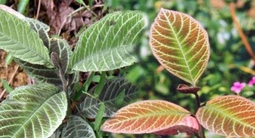 Hình ảnh lá khôi nhung trong tự nhiên