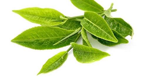 Đặc điểm nhận biết trà xanh cũng như lá trà xanh tươi khô