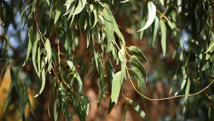 Cây bạch đàn rất nhiều lá vào mùa hè