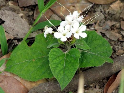 Cây bạch đồng nữ tươi nguyên hoa, lá
