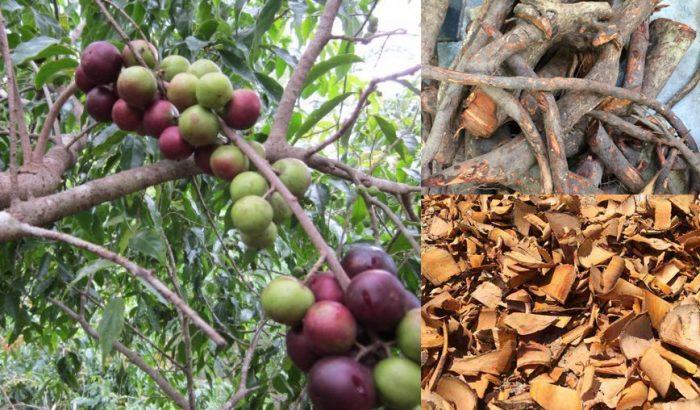 Rễ cây bồ quân là gì cùng hình ảnh và tác dụng của rễ cây bồ quân