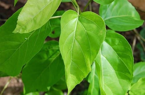 Sử dụng lá cây vọng cách chữa bệnh kiết lỵ