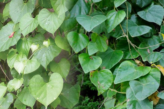 Tác dụng cách dùng của cây tiết dê và hình ảnh của cây tiết dê