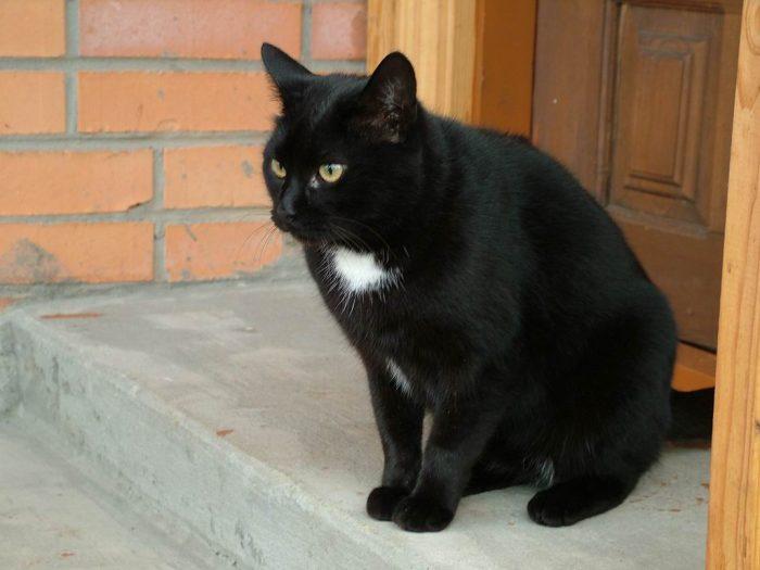 Tác dụng cao mèo đen chữa bệnh