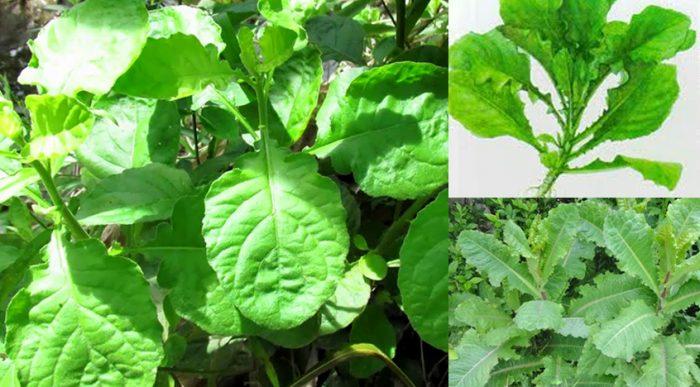 Tác dụng của cây cải trời và cách sử dụng cùng hình ảnh cây cải trời