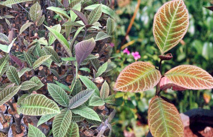 Tác dụng của cây lá khôi là gì cách dùng cũng như cách chế biến ra sao