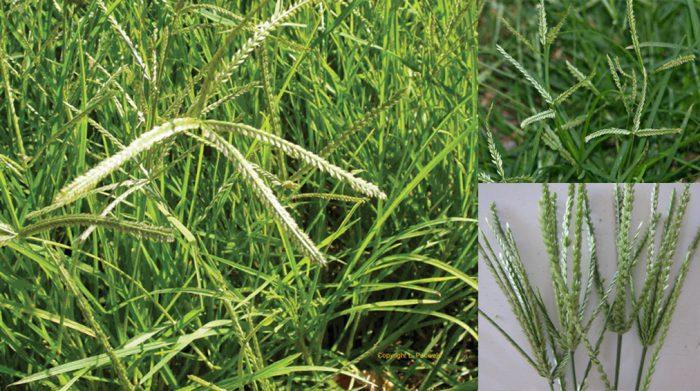 Tác dụng của cỏ mần trầu là gì và cách dùng cỏ mần trầu chữa bệnh