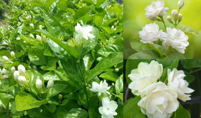 Tác dụng của hoa nhài cùng hình ảnh và cách dùng hoa nhài tốt nhất