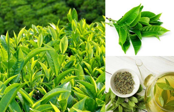 Tác dụng của trà xanh và cách dùng trà xanh cùng hình ảnh nhận biết