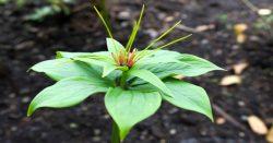 Bảy lá một hoa có tác dụng cách dùng ra sao và hình ảnh bảy lá một hoa