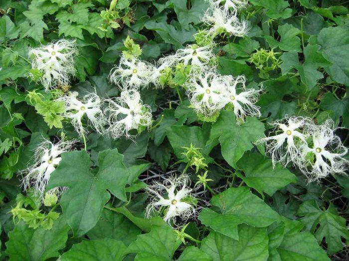 Thiên hoa phấn có tác dụng trị nám, đái tháo đường, sốt rét...
