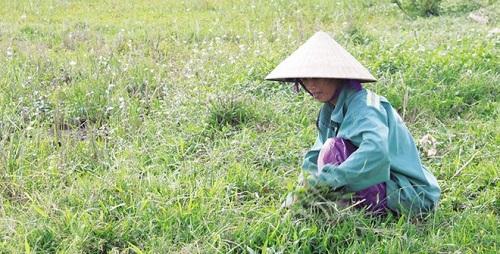 Thu hoạch cỏ gấu