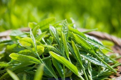Trà xanh có nhiều tác dụng tốt với sức khỏe con người