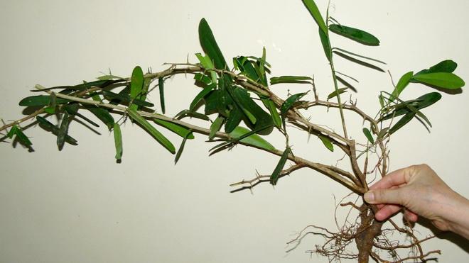Xáo tam phân là dạng cây leo, có nhiều công dụng với sức khỏe