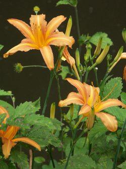 Hoa, lá cây hoàng hoa