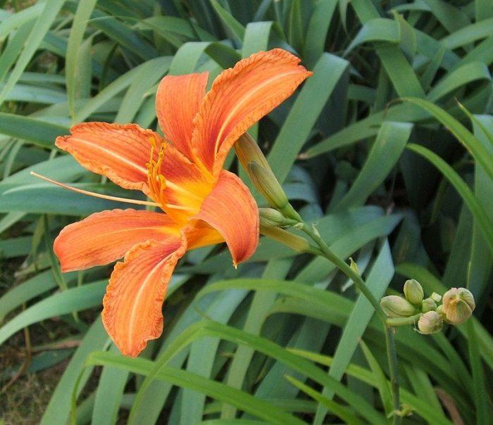 Cây hoàng hoa cũng có thể làm cây cảnh trong vườn nhà bạn